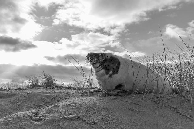 Seal Pup - Big Sky.