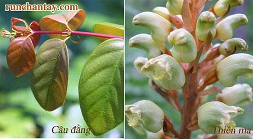 Thiên Ma, Câu Đằng là các thảo dược quý giúp hỗ trợ điều trị run tay khi tập trung