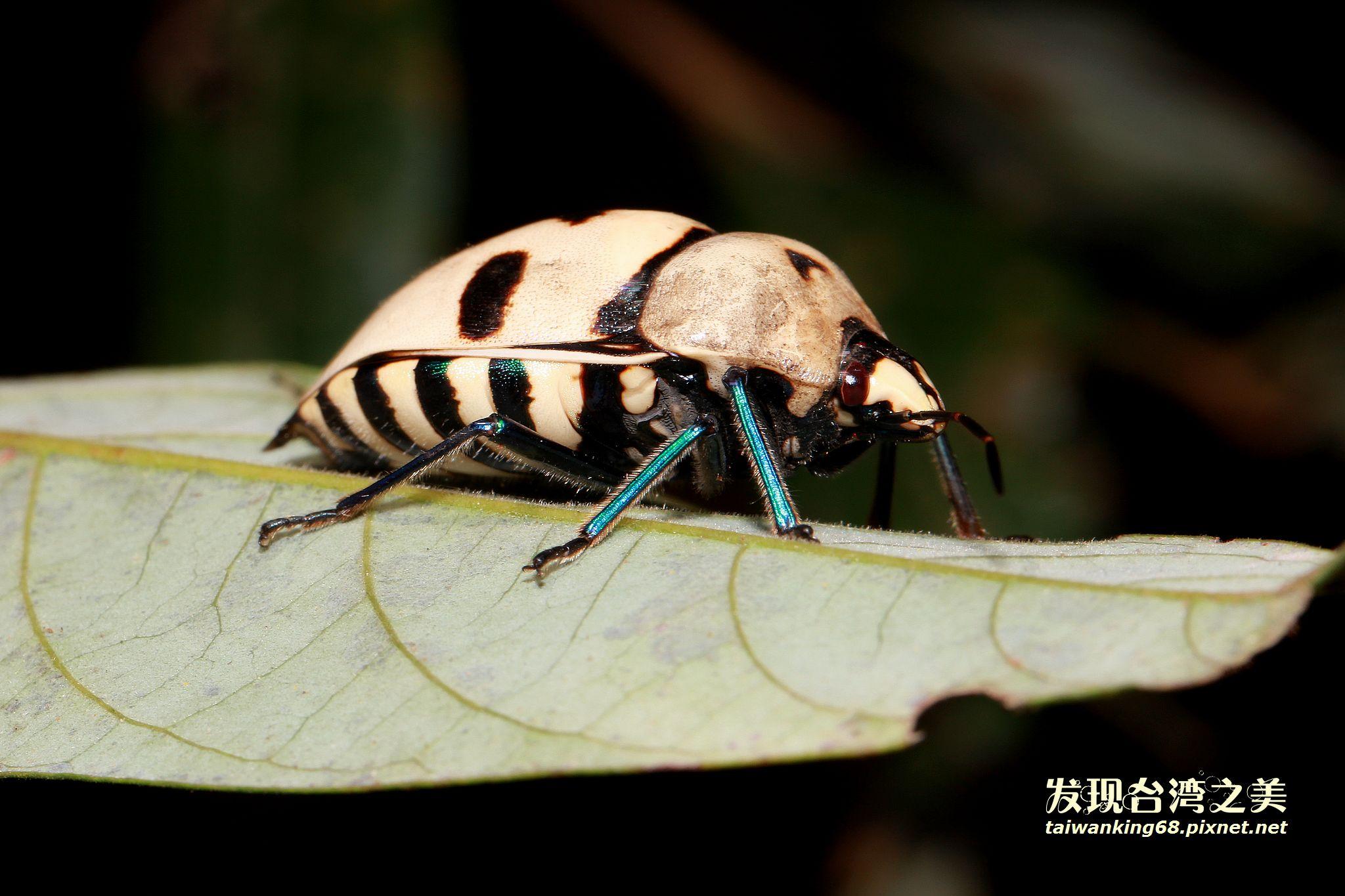 大盾背椿象(米白色個體)