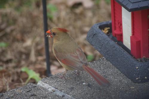 2018 Dec 30, Backyard Birds Nikon D7200