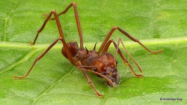 Leafcutter ant, Atta sp.
