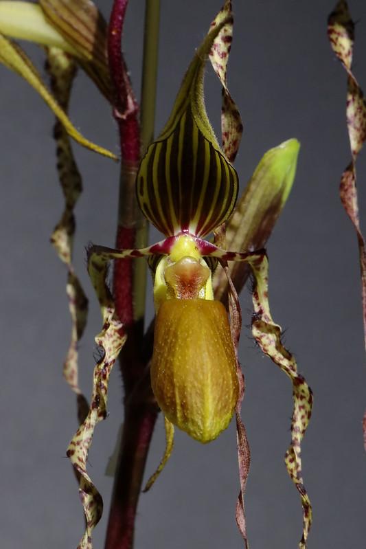 Paphiopedilum sanderianum  パフィオペディラム サンデリアナム
