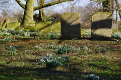 Rickinghall Superior snowdrops