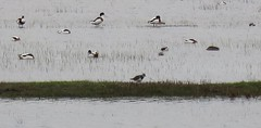Lapwing in company - Photo of Boisroger