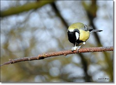 Holding on. Parus major. Great tit.