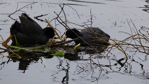 Nest-building coots,  late January, Anglers Pool, Perton