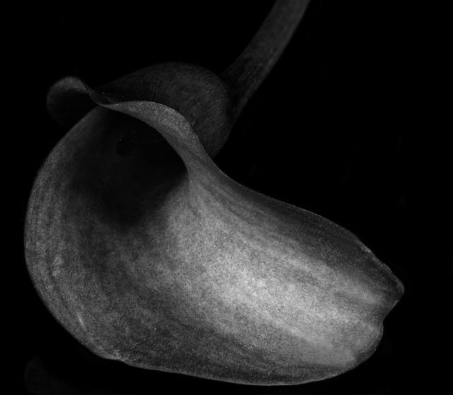 Calla Lily in Black And White