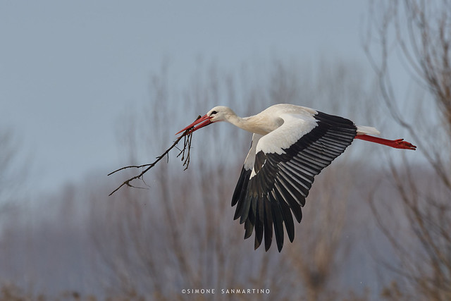 Cicogna bianca - European white stork