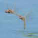 Variegated Meadowhawks - Sympetrum corruptum (Libellulidae) 112s-10037