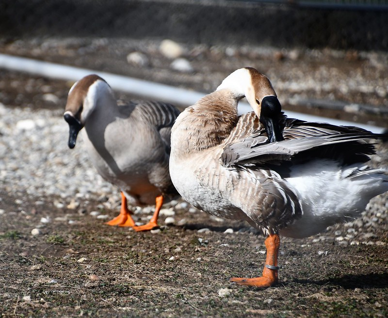 Geese 05.03 (9)
