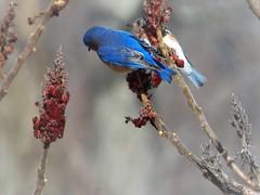 Bluebirds on Sumac