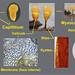 50934 - Hemitrichia calyculata - Planche microscopique -