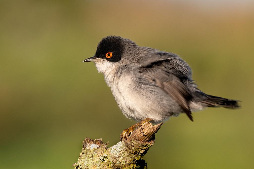 Male Sardinian Warbler - Toutinegra-de-cabeça-preta - Sylvia melanocephala