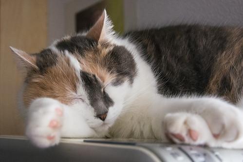 Mimi is sleeping on the printer