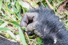 Silverback (maschio adulto di gorilla di montagna), Bwindi Impenetrable Forest, Uganda
