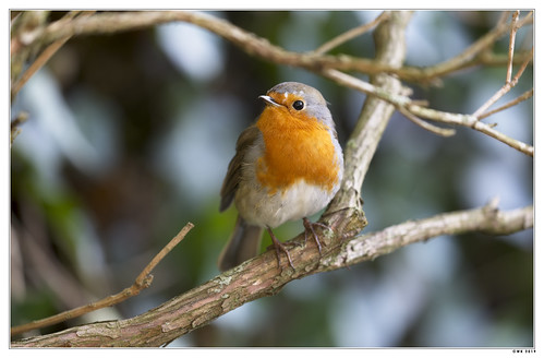 A robin in our tree.