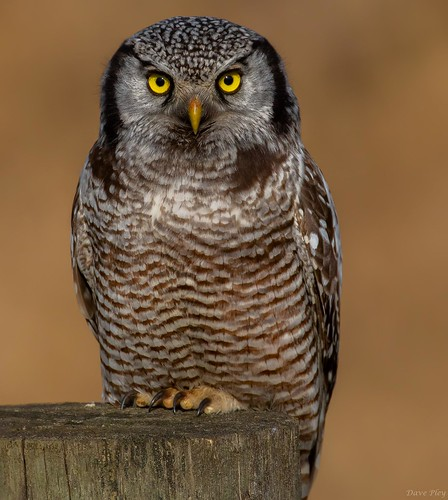 Hawk owl- Perched