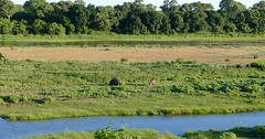 Hippos grazing in Letaba riverbed ...