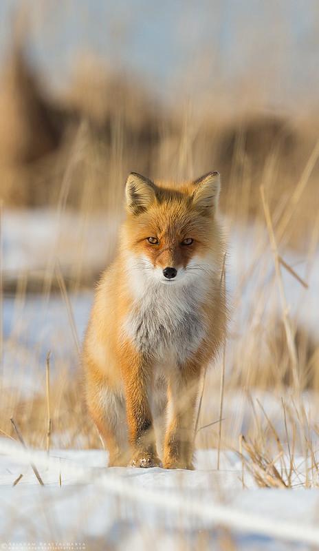 Ezo Red Fox in Rausu, northern Japan by Arindam Bhattacharya