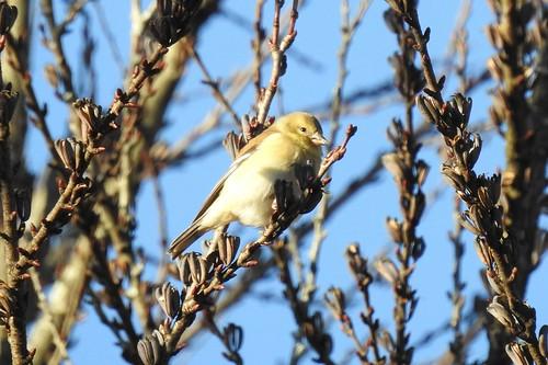 #12 American Goldfinch