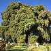Árbol del Tule por Charadriimaniac