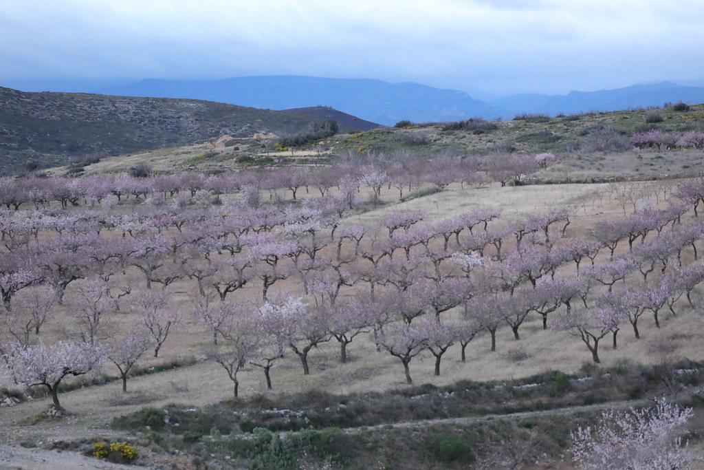 Almond Groves