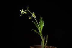 [Motobu-cho Okinawa, Japan / 沖縄県本部町]  Liparis formosana fma. alba Rchb.f., Gard. Chron., n.s., 13: 394 (1880)