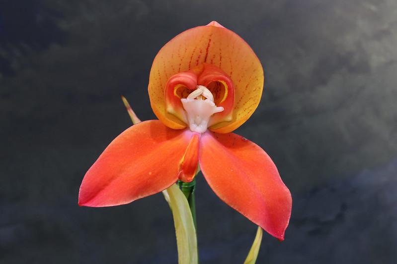 Disa uniflora  ディサ・ユニフローラ
