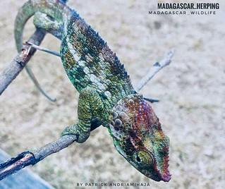 Peltier's chameleon (Calumma peltierorum) - FB_IMG_1542269147761-01