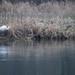 Grande aigrette (Ardea alba)