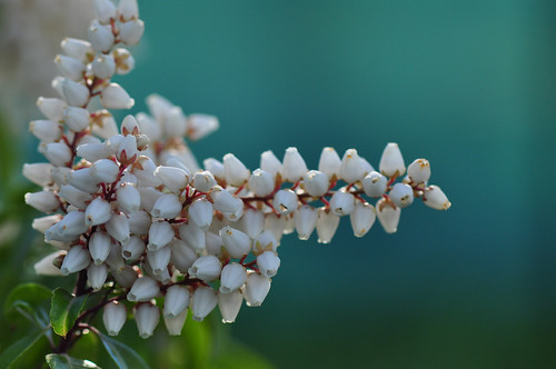 Japanese andromeda (Pieris japonica)