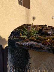 Pissenlit sur un poste d'observation... - Photo of Saint-Romain-de-Jalionas