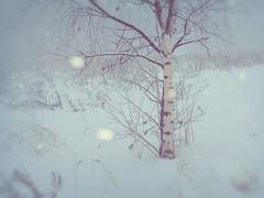 The birch in white