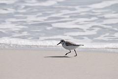 sanderling birding Mason inlet NC 11.17DSC_0379 (1)