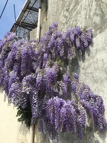 Wisteria blooms in Porto, Portugal