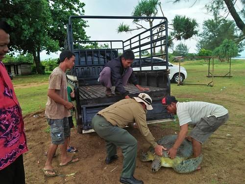 Pelepasliaran Penyu Hijau di Pantai Desa Swarangan SM Pelaihari (02)