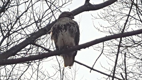 Babson redtail
