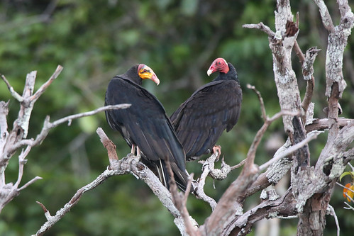 Lesser Yellow Headed and Turkey Vultures