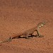 Juvenile yellow spotted monitor (Varanus panoptes) by SquamataOut