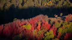 Fall Foliage, Bull Elk on a Ridge and Great Morning Light