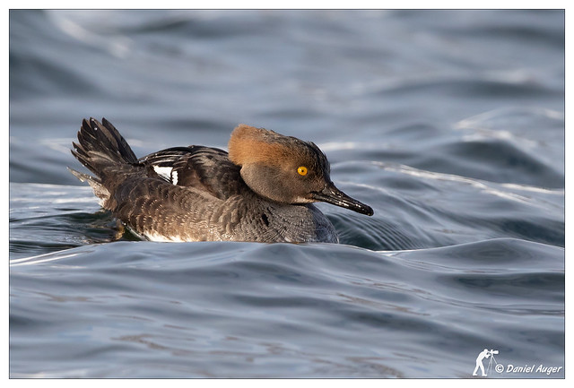 Harle couronné / Hooded Merganser, Canon EOS 7D MARK II, Canon EF 500mm f/4L IS