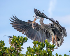 Great Blue Heron  Bringing Home a Nesting Stick
