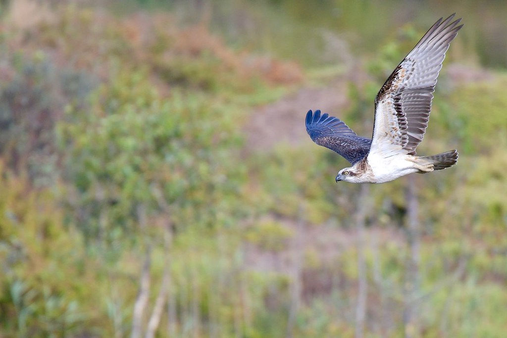 Osprey  ( coming  my way )