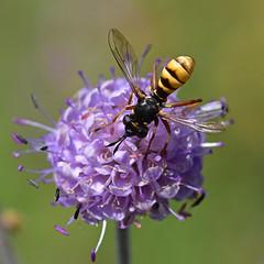 Empingham Flies and Hoverflies