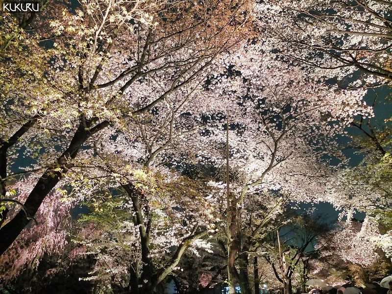 2019日本櫻花情報