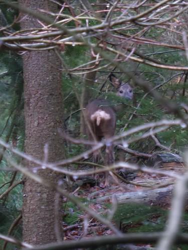 Spotted deer in Rijsterbos, Gaasterland