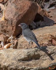 Slate-colored Junco or Dark-eyed Junco (Junco hyemalis hyemalis) (DSB0339)