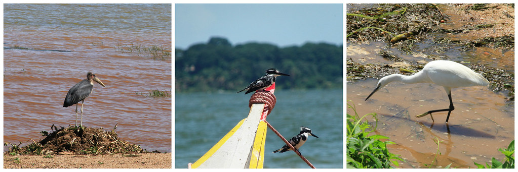 Birdlife on the shores of Lake Victoria, Entebbe