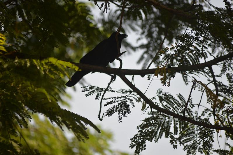 Large-Billed Crow Lump 11-24-17 1