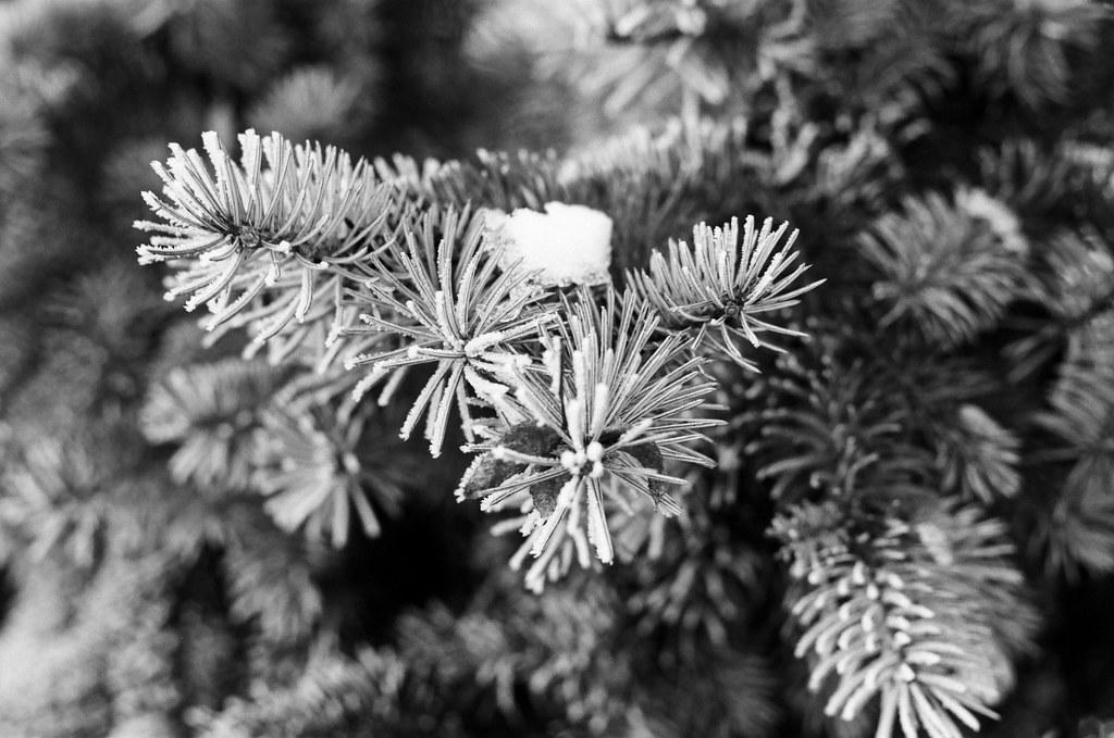 Snowy pine